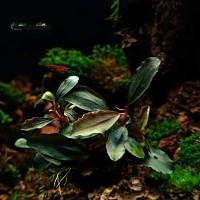 Bucephalandra sp. Vulcan