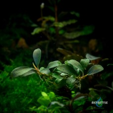 Bucephalandra sp. Amanda Red