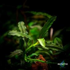 Bucephalandra sp. Black Catherinae