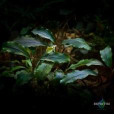 Bucephalandra sp. Black Mist