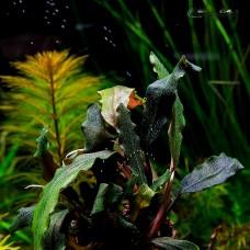 Bucephalandra sp. Black Purple Leaves