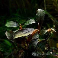 Bucephalandra sp. Blue Metalik