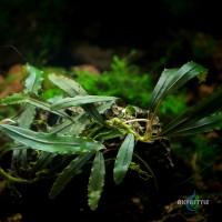 Bucephalandra sp. AlamandaV4 Purple