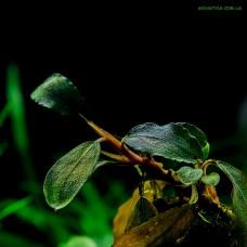 Bucephalandra sp. Brownie Blue