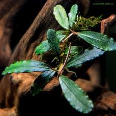 Bucephalandra sp. Rainbow Centipede