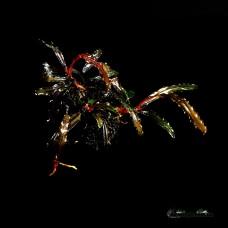 Bucephalandra sp. Alamanda V3 Dark