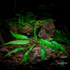 Криптокорина Вендта зеленая