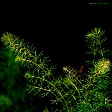 Bacopa myriophylloides( Бакопа перистолистная)