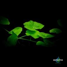 Щитолистник белоголовый(Гидрокотила белоголовая)