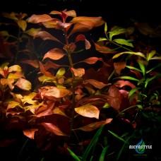 Ludwigia Repens «Rubin»(Людвигия рубин)