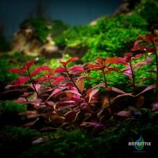 "Ludwigia palustris ""Super red"""