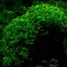 "Callicostella prabaktiana - moss sp. ""Sumater"""