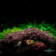 Caloglossa beccarii - красная водоросль