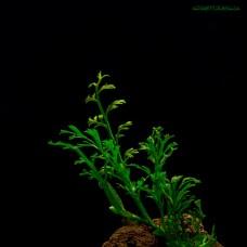 Папоротник Bolbitis heteroclita sp.Baby Leaf