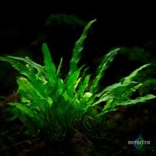 Папоротник Microsorum sp. «Мinor»