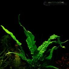 "Папоротник Microsorum pteropus ""Wave leaf"""