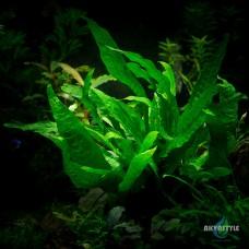 Папоротник Microsorum sp. Sri Lanka