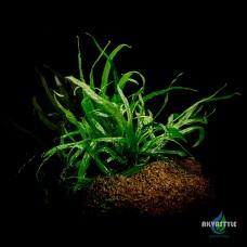 Папоротник тридент (Microsorum sp. Trident)